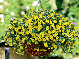 Calibrachoa Kabloom